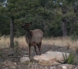 Elk frequently make their habitat at high altitudes and in rough terrain.